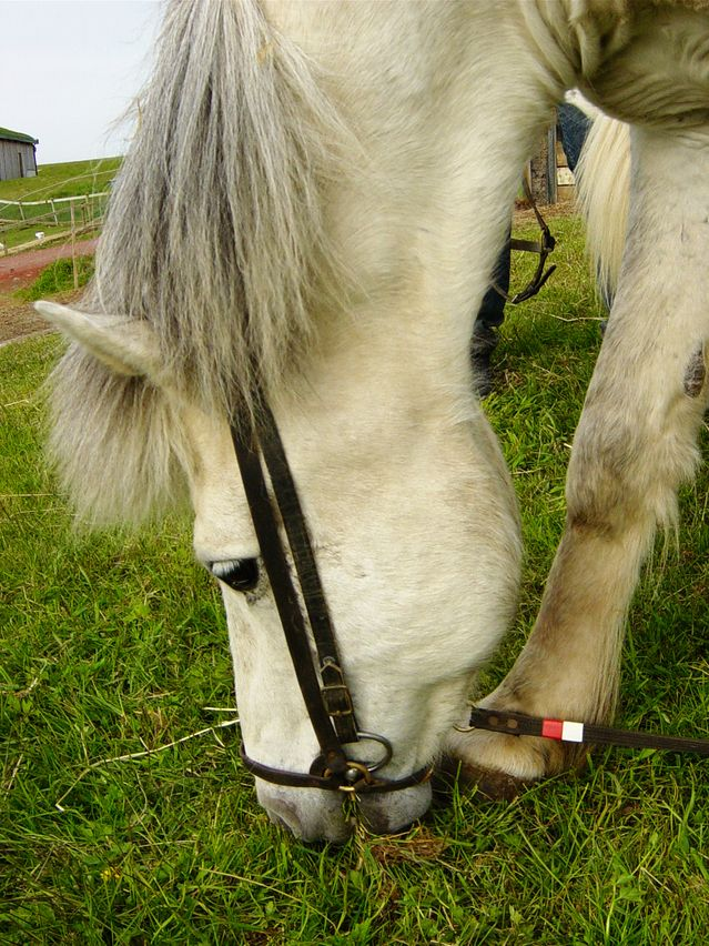 Horses : put in the grass, beware of the young grass !
